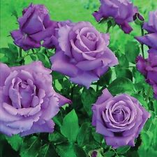 Lilac Bushy Roses
