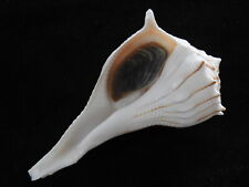 Sea shell Busycon contrarium 123mm ID#5832