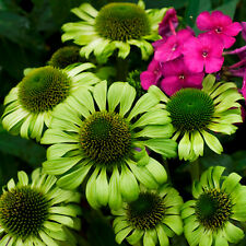 """echinacea Green Jewel coneflower tall prairie 2.5"""" pot = 1 Live Potted Plant"""