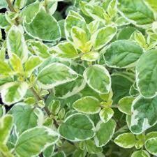 COUNTRY CREAM OREGANO Origanum vulgare edible herb plant in 100mm pot