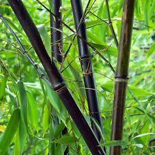 20 Semi di Bambù nero ,Phyllostachys nigra Black bamboo Gigante