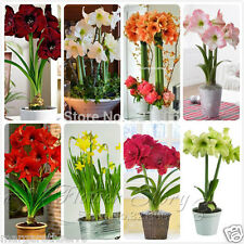 SALE Special Offer 8 kinds Amaryllis Lily (Papilio Hippeastrum Hybrids) Bulbs