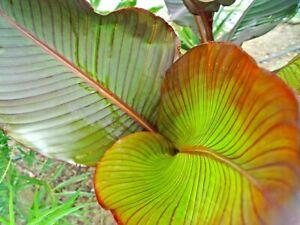 Canna indica rare ( variété RED RUSSIAN )