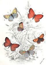 1896 BUTTERFLY INSECTS color chromolithograph - #LI