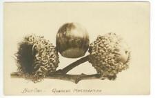 interesting c1910 Burr Oak tree acorns nuts Real Photo Quercus Macrocarpa