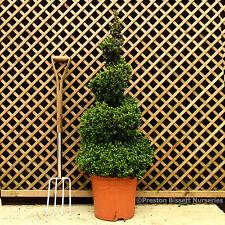 Box Buxus Topiary Spiral 90 cm