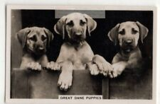 Great Dane Puppies Dog Canine Pet Animal 1930s Trade Ad Card