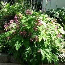 10 FRINGED / FERN LEAF BLEEDING HEART Dicentra Eximia Pink Flower Seeds *CombS/H