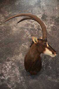 African Sable Taxidermy Shoulder Mount for sale SKU 1801