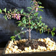 Medium WEEPING CHERRY  BONSAI TREE  FLOWERS PINK ANO YELLOW  REAL CHERRIES