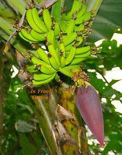 Musa sikkimensis Red Tiger @ Freiland-Banane @ Essbanane @ frosthart @ 30 Samen