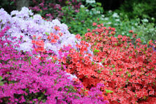 5 x Mixed Azalea Japonica In 2L Pots, Stunning Flowering Shrubs For Every Garden