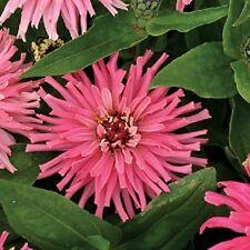 30+  Zinnia Pinca Pink Flower Seeds / Annual