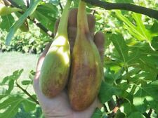 Rare fig varieties»  Ficus carica var Longue d'aout -  french fig * 10  seeds *