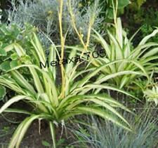 Araignée 5 stolons,  plant d'interieur,