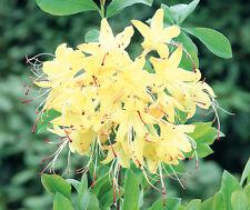 Gartenazalee Rhododendron luteum Lemon Drop 30-40cm Frühlingsblüher