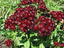 Sweet William Seeds - HEART ATTACK - Dianthus Barbatus - Reseeds -  25 Seeds