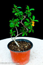 Pyracantha ( Firethorn ) coccinea  ' Teton' / fine dwarf yellow - orange berries