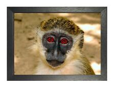 Monkey #6 Red Eyes Poster Funny Wild Animal Picture Mammals Photo Ape Print