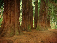 Giant Sequoia    100 seeds.  trees, seeds