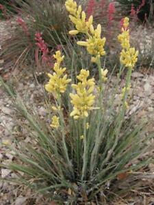 "Yellow Flower, Golden Texas Yucca ""Rare"" Hesperaloe parviflora - (30 Seeds) 018B"