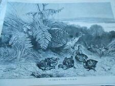 Gravure 1870 - Une famille de Faisans
