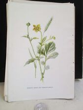 Vintage Print,COMMON AVENS+MEADOW BARLEY,Familiar Garden Flowers,Hulme