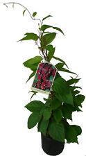 2 x Schiesser Sandra chinensis pianta Wu-Wei-zi 60cm rarità cinese pianta di guarigione
