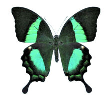 One Real Butterfly Green Papilio Palinurus Swallowtail Unmounted Wings Closed