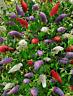 Arbusto de Mariposas - Buddleja  híbrida -  flores colores variados 100 semillas