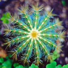 Cactus Ball Seeds Perennial-Succulent Rare Indoor Fleshier Polygon Flower Mixed