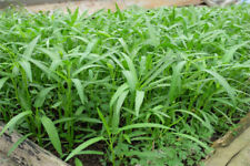 Water Spinach Seeds Rich Nutrition Green Vegetables Big Leaf Delicious Seeds