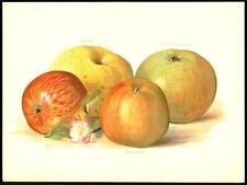 1894 grandes cromolitografía original-manzanas Pippin Bramley Oldenburg (2/2)