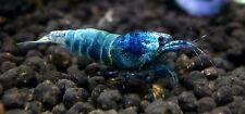 6x BLUE BOLT taiwan bee shrimp caridina cantonensis not cherry