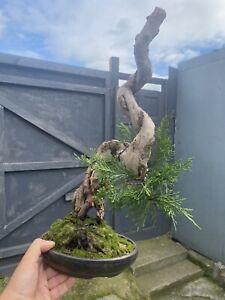 Shimpaku chinese juniper Tanuki Bonsai (walsall Studio Pot)