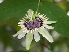 6 Semillas - Rara - PASSIFLORA COLINVAUXII - Flor de la Pasión - Samen - Semi