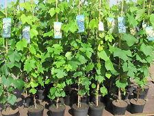 Vitis vinifera Venus kernlos Weinrebe Tafeltraube Wein Weintraube Winzersorte