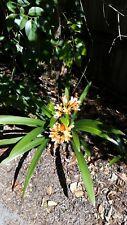 Clivia Clivea plants Orange flower P/U 3138