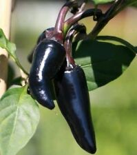 Peruvian Royal Black Chilli seeds || 30 Seeds || Free Shipping || Lowest Price