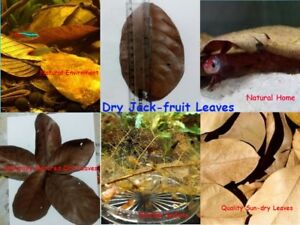 Dry Jackfruit Leaves for Aquariums Biofilms Water Conditioner Fish & ShrimpTank