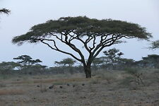 18 Semillas - Acacia Parasol - ACACIA TORTILIS - Árbol - Jardín -- Samen - Semi