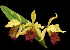 cattleya orchidee C.dowiana aurea 'costa rica' Jungpflanze nice seedling