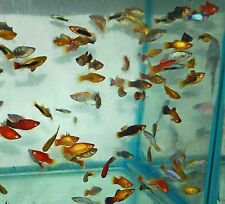X50 ASSORTED PLATY FISH LIVE TROPICAL COMMUNITY MIX - FREE SHIPPING *BULK SAVE