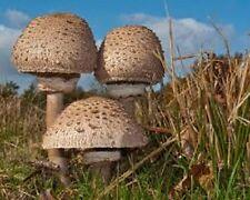 Macrolepiota procera PARASOL MUSHROOM Mycelium 10.000 + fresh seeds Spores $9.9O