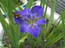 1 Blue Sinfonetta Louisiana Water Iris/Bog/Water Garden