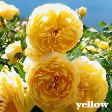 100X 8 Variety Climbing Rose Seeds Rose Multiflora Perennial Fragrant-Flower.-