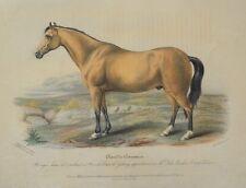 Lithographie XIXème Couleur et Gommée - Cheval Connemara - Poney