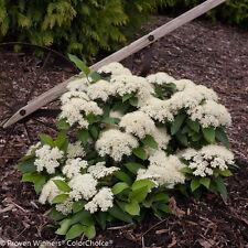 "Lil' Ditty Viburnum - 4"" pot - White Blooms"