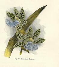 Stampa antica FIORE ORCHIDEA ZYGOCOLAX VEITCHI botanica 1896 Antique print