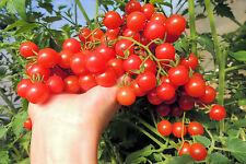 Mexikanische Wildtomate * 25 Korn * frisch * handverlesen * Tomaten * Rarität *